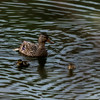 Feamle mallard duck with two her little ones