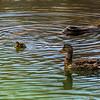 Female mallard duck with one her babies