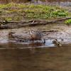 Female mallard duck with her head under the water