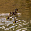 Female mallard duck with two of her little ones