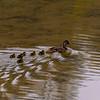 Baby mallard ducks following behind their mother