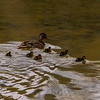 Baby mallard ducks following behind their mother in the water