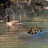 Female mallard duck leading her little ones
