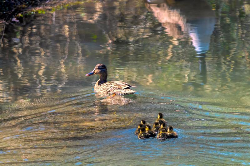 Female Mallard duck with her babies