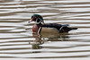 Wood duck in rippled water