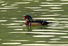 Colorful wood duck swimming