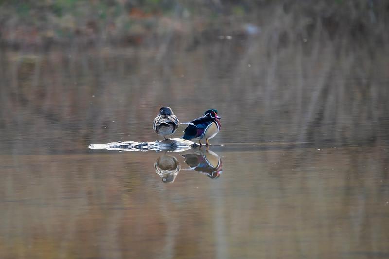 Male and female wood ducks on island