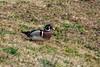 Wood Ducks on land