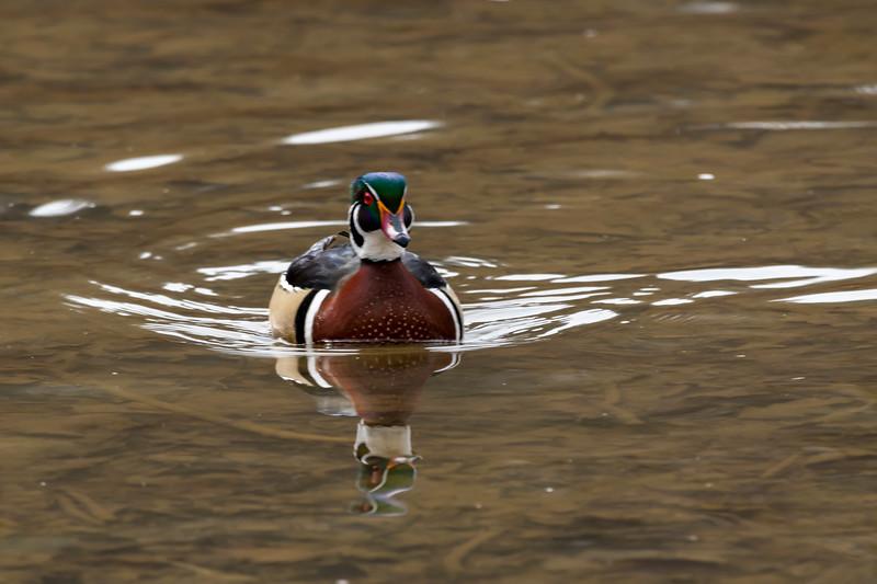 Wood ducks in water