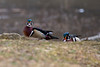 Wood Ducks on land