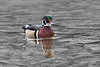 Colorful male wood duck swimming toward camera