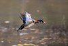 Wood duck flying