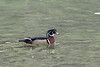 Colorful male wood duck
