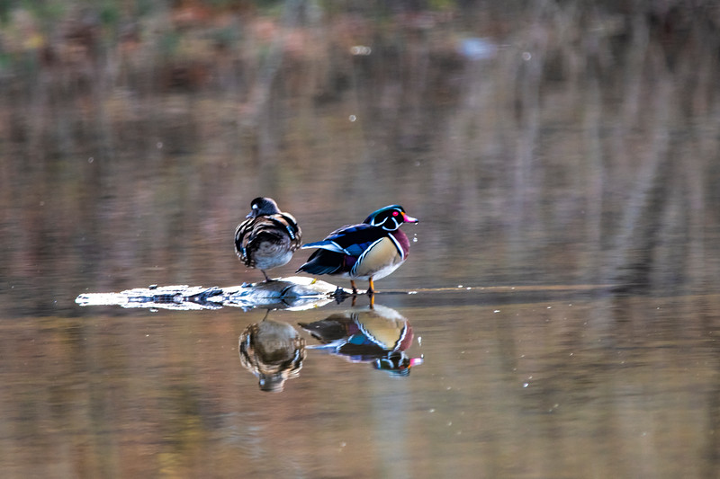 Two wood ducks on island middle of water