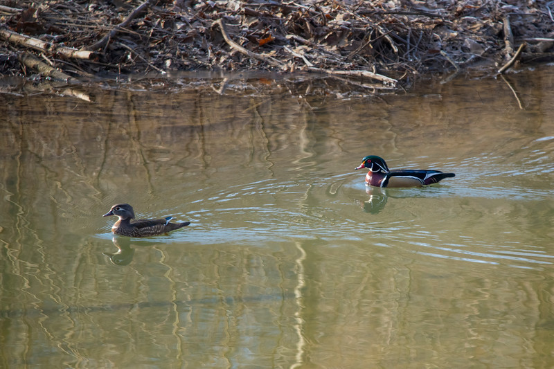 Two wood ducks female and male swimming