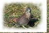 American Kestrel portrait