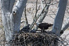 Mature eagle in nest with the eaglets