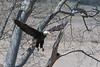 Bald eagle flying off nest to roost in tree