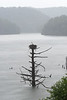 Osprey nest on old dead tree in water