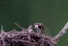 Feeding bits of fish to young osprey