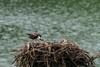 Osprey feeding baby osprey innest