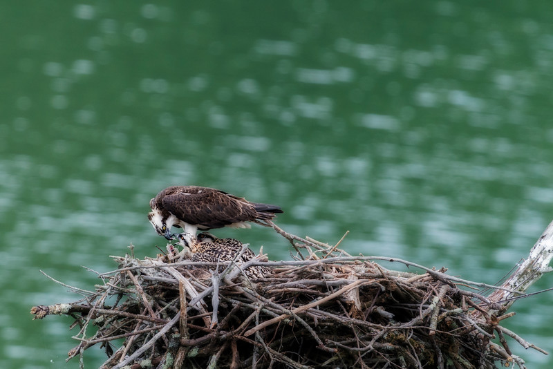 Feeding the young osprey