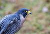 Portrait Peredine falcon