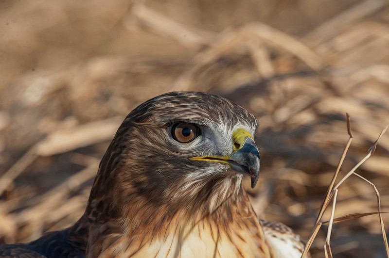 Portrait  red Tailed Hawk