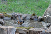 American robin bathing -Birds bathing in water.........Digital files or prints get be obtained by e mailing DFriend150@gmail.com