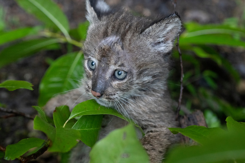 Bobcat in leaves playing