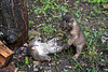 Bobcat on ground play fighting