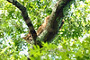 Bobcat in tree looking down .....................to purchase - e mail   DFriend150@gmail.com<br />  DLF Photo