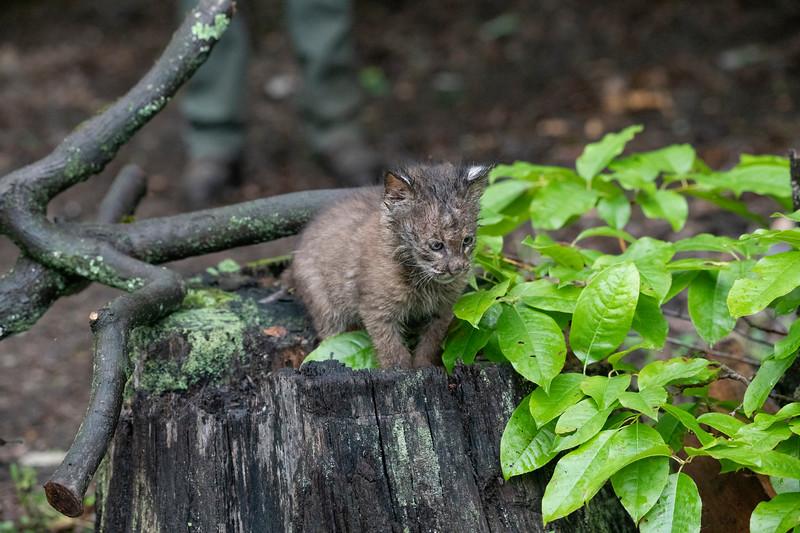 Bobcat sitting on trunk of tree