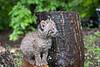 Bobcat beside trunk of tree
