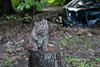 Bobcat on top of tree trunk