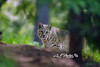 Bobcat searching for food <br /> <br />  DLF Photo