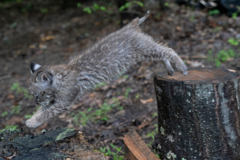 Bobcat jumping off of tree trunk