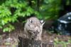 Baby bobcat on stump
