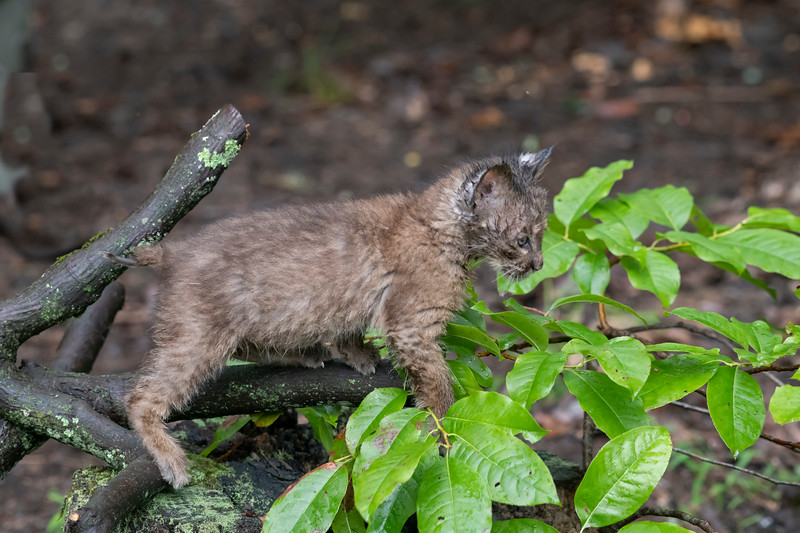 Baby bobcat climbing along leaves in a branch