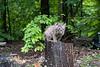 Baby bobcat ofn tree trunk