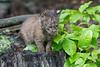 Baby bobcat sitting on stump