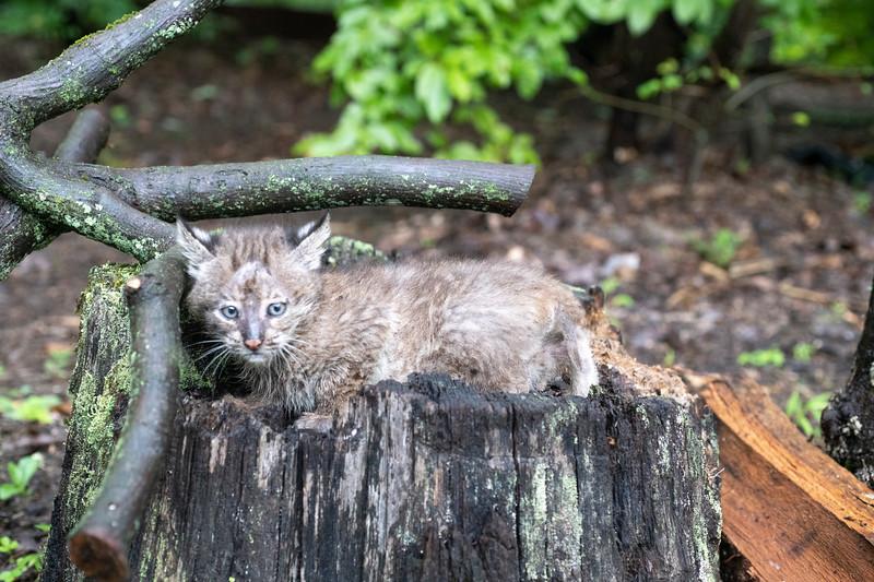 Bobcat on trunk of tree
