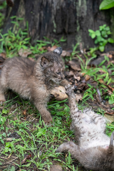 Two bobcats babies fighting