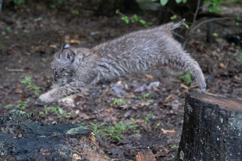Bobcat jump