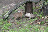Two young bobcats play fighting