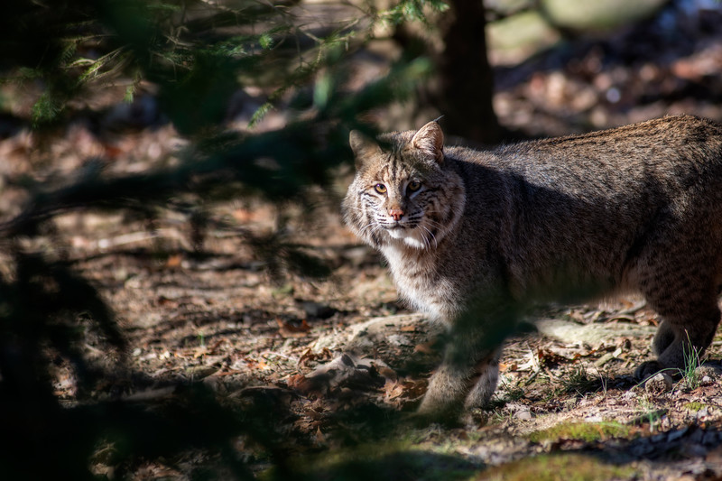 Bobcat  out in nature