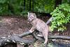 Baby bobcat balnaced on limb