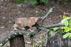 Bobcat on limb of tree