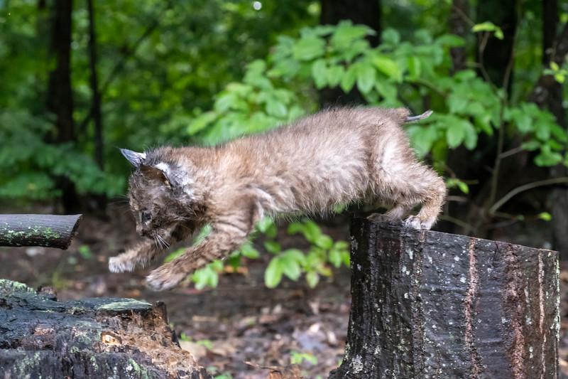 Jumping bobcat style