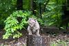 Bobcat on top of tree trunk